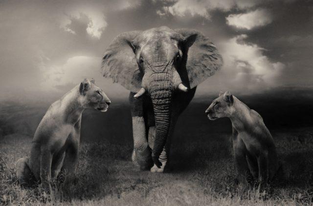 elefantogløver
